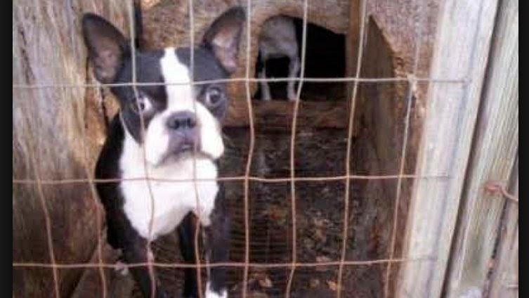 Boston Terrier Puppies Craigslist / Boston Terrier Puppy ...