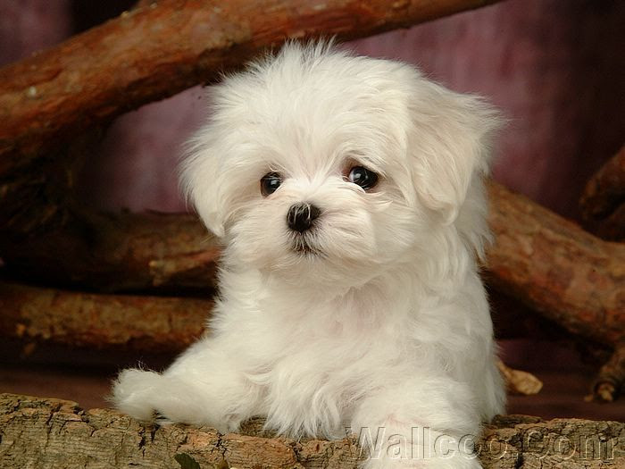 Maltese Puppies For Sale North Western Cape South Africa