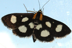 White-spotted Sable Moth (Anania funebris) - 4