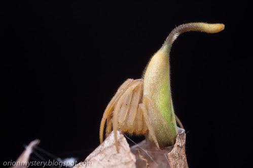 IMG_8506 copy Cyphalonotus sp. spider