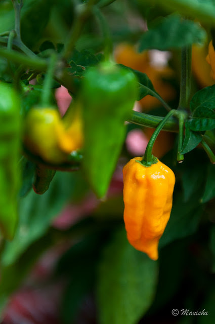 The mighty Bhut Jolokia
