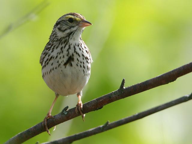 Savannah Sparrow SOOC crop 20100516