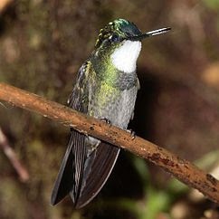 http://upload.wikimedia.org/wikipedia/commons/thumb/a/aa/Lampornis-castaneoventris-002.jpg/242px-Lampornis-castaneoventris-002.jpg