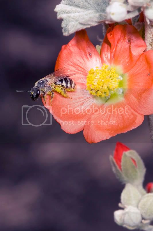 Bee on Desert Globemallow