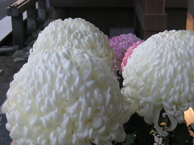 Mishima Chrysanthemums
