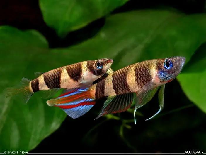 Факельный эпиплатис, или щучка-клоун (Aplocheilus annulatus), фото мини рыбки изображение