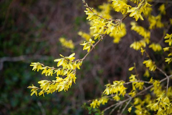 spring, poem, alison boylston piazza, forsythia, pussy willows, daffodils