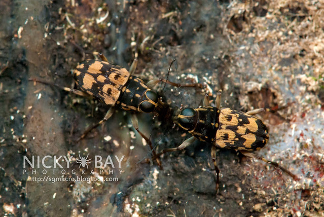 Fungus Weevil (Anthribidae) - DSC_5988