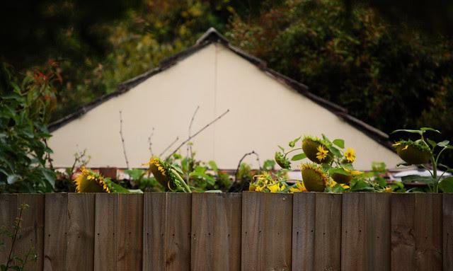 Side By Side Week 120 - Sunflower envy