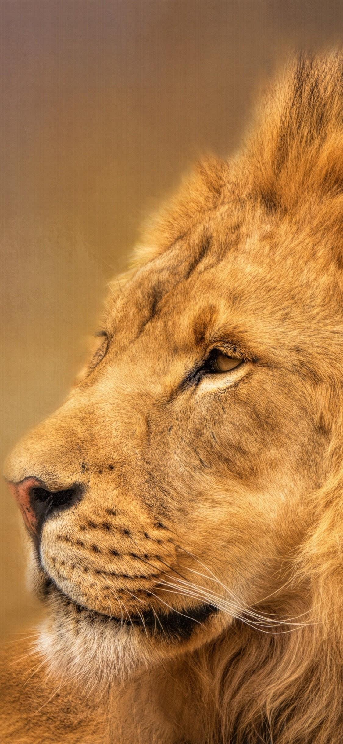 Lion King Wallpapers Free