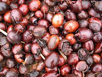 Seed of Vitellaria paradoxa, the Shea tree. Ne...