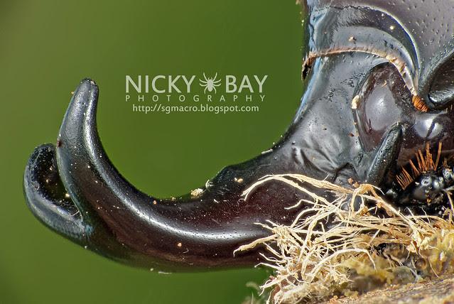 Rhinoceros Beetle (Dynastinae) - DSC_7832