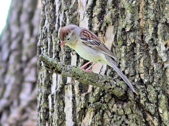 Field Sparrow 20130508