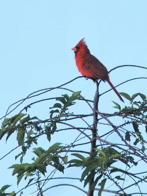 Northern Cardinal 20130527