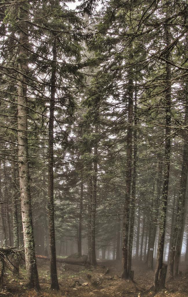 Ceahlău Massif Trees II