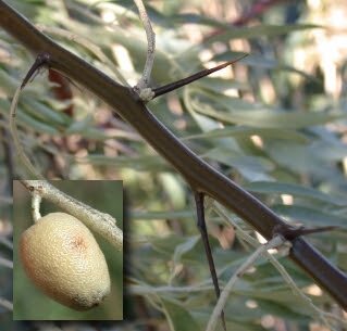 photo of Russian olive showing thorny branches and bird-dispersed fruit