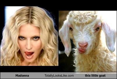 madonna-totally-looks-like-this-little-goat
