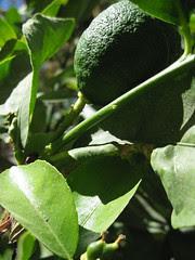 citrons verts (1)