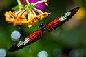 Sertoma Butterfly