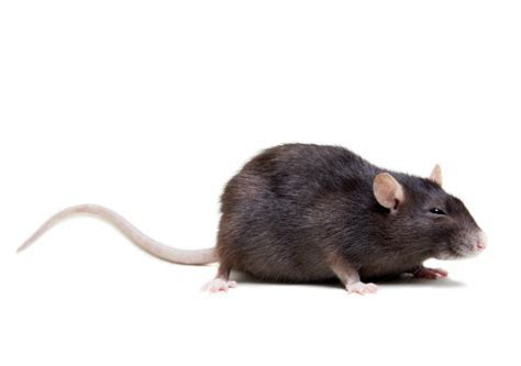 Get Rid of Rats & Mice   Rodent Pest Control