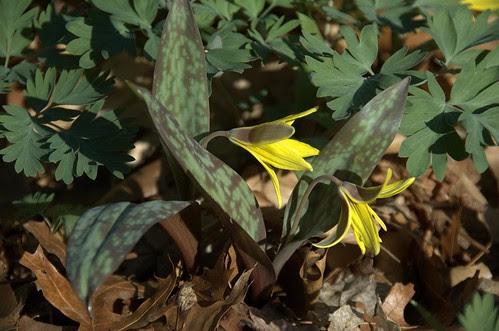 Erythronium americanum, Trout-Lily, Native Flora Garden, BBG