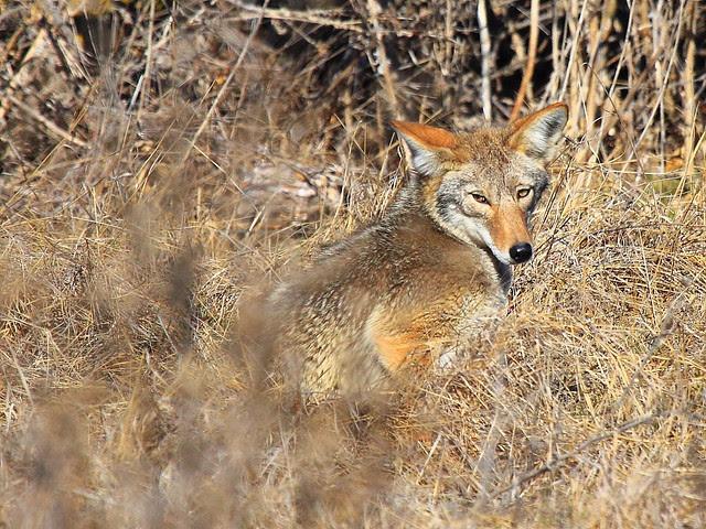 IMG_3840 Coyote, San Luis National Wildlife Refuge