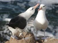 Pair of black-browed albatross