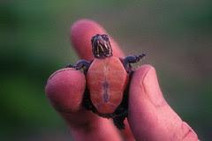 midland painted turtle hatchling