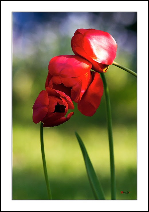 006 Tulip