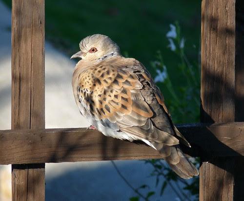 23493 - Turtle Dove, West Cross