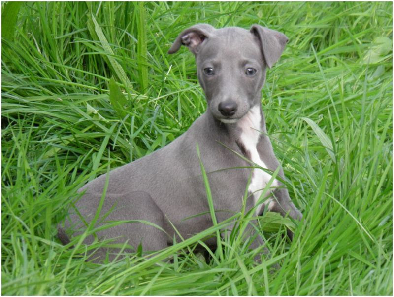 View Ad: Buy Whippet Puppies For Sale In Idaho