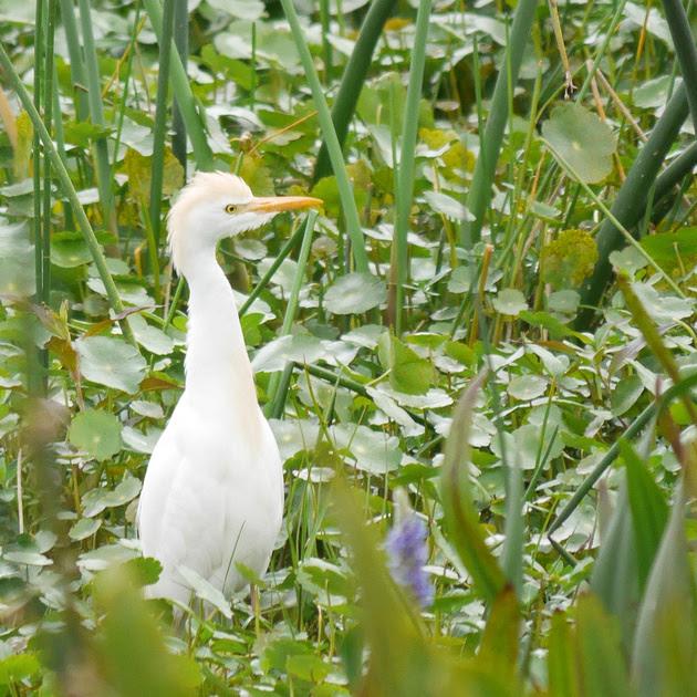 Ed Gaillard: birds &emdash; Cattle Egret, Green Cay