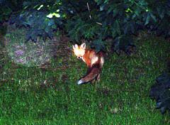 Fox_71309b