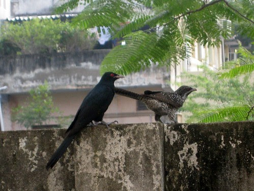Koel couple
