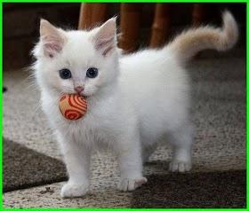 Kucing Rumahan Lucu