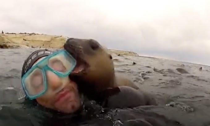 Una amorosa cría de foca encuentra nuevos amigos en un grupo de buzos y lo celebra con un beso