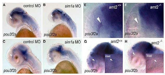 Como parte do estudo, os ensaios foram realizados no peixe-zebra (foto) para confirmar o efeito de eliminação do cromossomo 6, que gera o aumento de peso e problemas mentais. A síndrome é tão recente que não existem dados sobre os sintomas ou possíveis tratamentos.