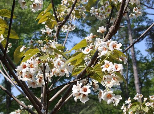 Tung Oil Tree {vernicia fordii}