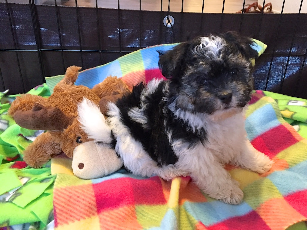 Havanese Puppies For Sale North West South Africa
