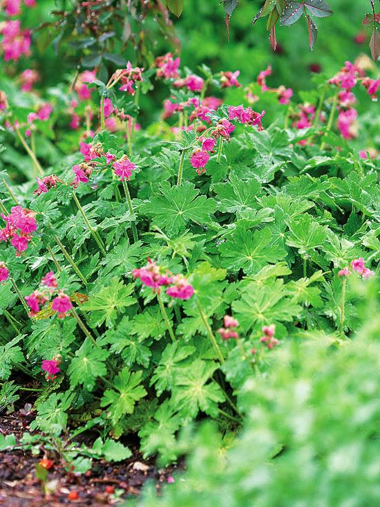 Bigroot Geranium