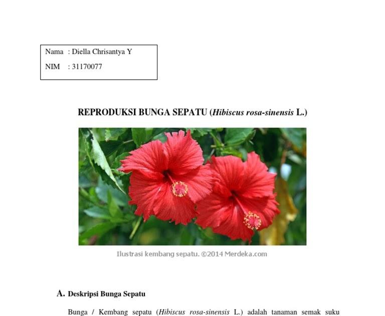 Gambar Sayatan Vertikal Bunga Kembang Sepatu Kumpulan Gambar Bunga