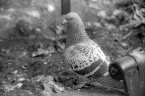 Rock Dove?  Or Pigeon?