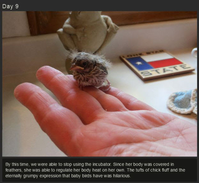 miniature_baby_songbird_rescued_and_raised_by_hand_640_11