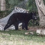 BEAR_HAMMOCK_DAYTONABEACH_-_MUST_COURTESY_RAFAEL_TORRES_4