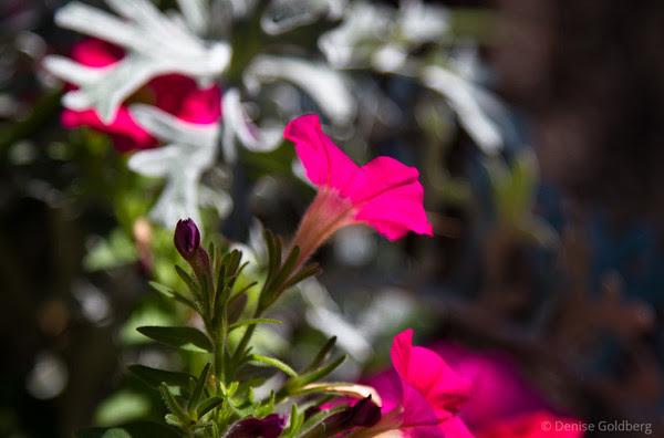 bright pink, petunia
