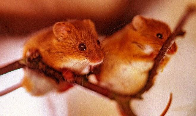 Мозговой имплант заставил мышей мгновенно подружиться между собой