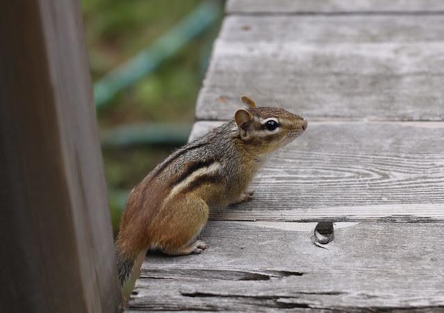 curious chipper