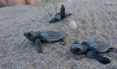 Χελωνάκια Caretta-Caretta κάνουν το πρώτο ταξίδι τους, από τη φωλιά προς την θάλασσα