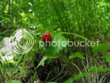wild strawberry small