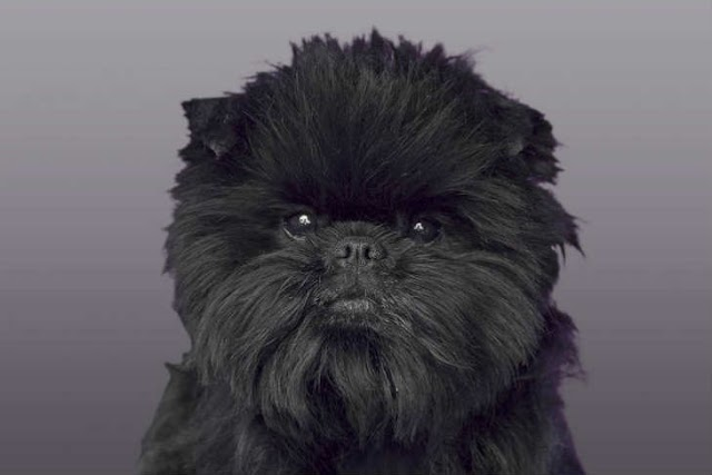 Dog Breed: Affenpinscher